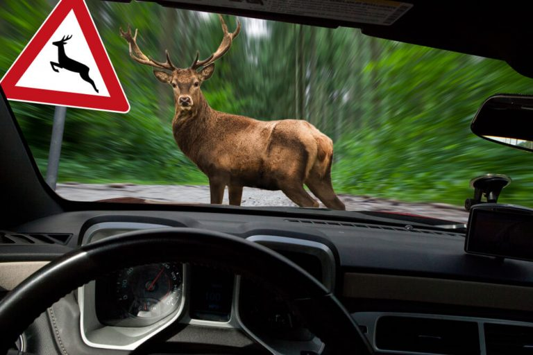 car about to hit deer